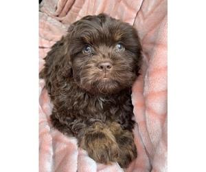 Cavalier King Charles Spaniel Puppy for sale in ORANGEVALE, CA, USA