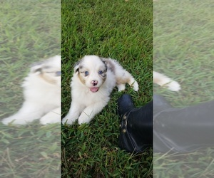 Australian Shepherd Puppy for sale in HEMBY, NC, USA