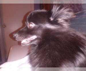 Mother of the Pomeranian puppies born on 09/05/2020