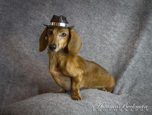 Jasper - Dachshund Dog For Adoption