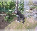 Puppy 2 German Wirehaired Pointer