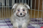 Maltipom Puppy For Sale in TUCSON, AZ