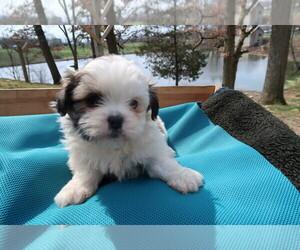 Shih Tzu Dog for Adoption in GR, Michigan USA