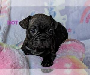 French Bulldog Puppy for sale in ROSEMEAD, CA, USA