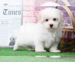 Ellie Very Elegant Female Maltese Puppy