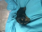 Dachshund Puppy For Sale in RICHLANDS, NC, USA