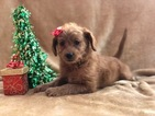 Small #4 Labradoodle-Poodle (Miniature) Mix