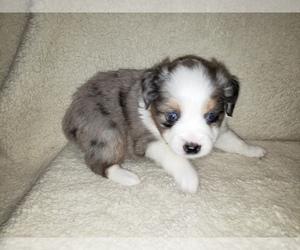 Miniature Australian Shepherd Puppy for Sale in OCTAVIA, Oklahoma USA