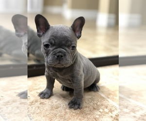 French Bulldog Puppy for Sale in SPRING VALLEY, California USA