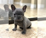 French Bulldog Puppy For Sale in SPRING VALLEY, CA, USA