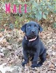 AKC Labrador Retriever Puppy