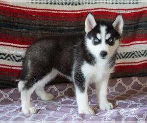 Siberian Husky Dog for Adoption in FREDERICKSBG, Ohio USA