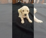 Puppy 0 Golden Retriever
