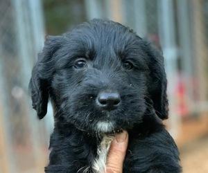 Labradoodle Dog for Adoption in CENTRAL, South Carolina USA