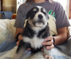 German Shepherd Dog-Siberian Husky Mix Puppy for Sale in BLACK EARTH, Wisconsin USA