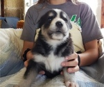 Puppy 1 German Shepherd Dog-Siberian Husky Mix
