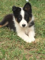 Australian Shepherd Puppy For Sale in CANTON, MA