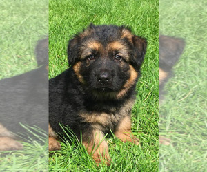 German Shepherd Dog Puppy for sale in COLETA, IL, USA