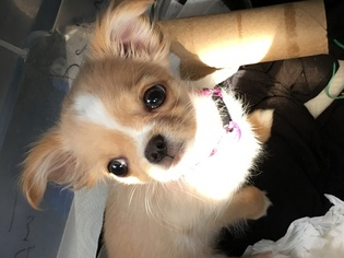 Chihuahua Puppy For Sale in JACKSONVILLE, FL