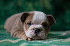 Bulldog Puppy For Sale in CUYAHOGA FALLS, Ohio,