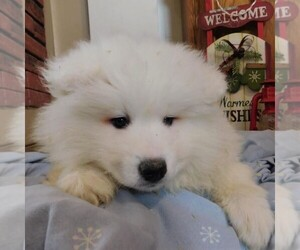 Samoyed Puppy for sale in THORP, WI, USA