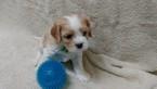 Cavachon Puppy For Sale in SHOW LOW, AZ
