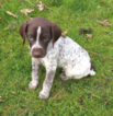 Small German Shorthaired Pointer
