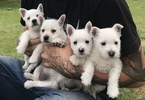 West Highland White Terrier Puppy For Sale in GRAND JUNCTION, CO, USA