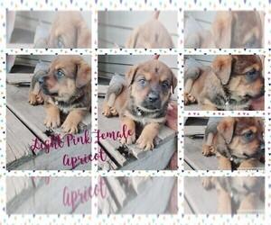 English Mastweiler Puppy for Sale in FAIR GROVE, Missouri USA