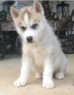 Siberian Husky Puppy For Sale in BEAVER, OH