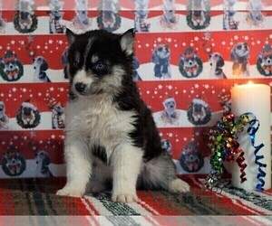 Siberian Husky Puppy for sale in FREDERICKSBG, OH, USA
