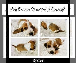 Basset Hound Puppy for Sale in WINCHESTER, Ohio USA
