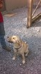 Labrador Retriever Puppy For Sale in CADIZ, KY