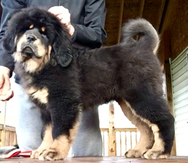 Tibetan Mastiff Puppy For Sale in BROOKLYN, MD