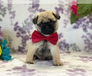 Pug Puppy for sale in LANCASTER, PA, USA