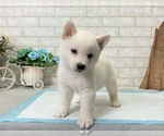 Small Photo #5 Shiba Inu Puppy For Sale in BEVERLY HILLS, CA, USA