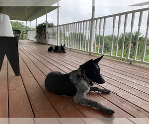 Texas Heeler Puppy for Sale in MELROSE, Wisconsin USA