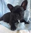 Black French bulldog female