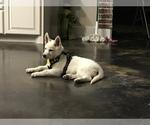 Small #43 German Shepherd Dog