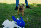 French Bulldog Puppy For Sale in FAYETTEVILLE, Arkansas,
