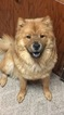 Chow Chow Puppy For Sale in STEVENS POINT, WI,