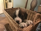Saint Bernard Puppy For Sale in LEAVENWORTH, WA, USA