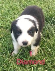 Australian Shepherd Puppy For Sale in LYNN, IN