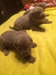 Labrador Retriever Puppy For Sale in RUSK, TX