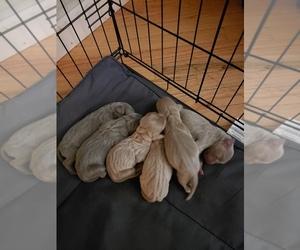 Weimaraner Puppy for sale in MOUNT WASHINGTON, KY, USA