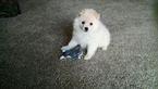 American Eskimo Dog Puppy For Sale in NEW RICHMOND, WI,