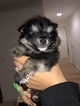 Pomeranian Puppy For Sale in ROYAL PALM BEACH, FL, USA