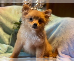 Pomeranian Puppy for sale in HAMDEN, CT, USA
