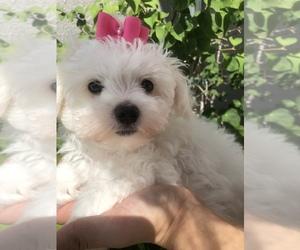 Maltese Puppy for Sale in SARASOTA, Florida USA