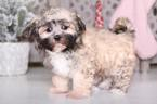 Yorkie-ton Puppy For Sale in MOUNT VERNON, OH, USA